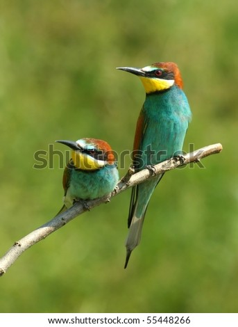 enamoured bee-eaters, perched on a twig, against green background