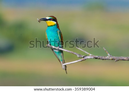enamoured couple of bee-eaters, perched on a twig