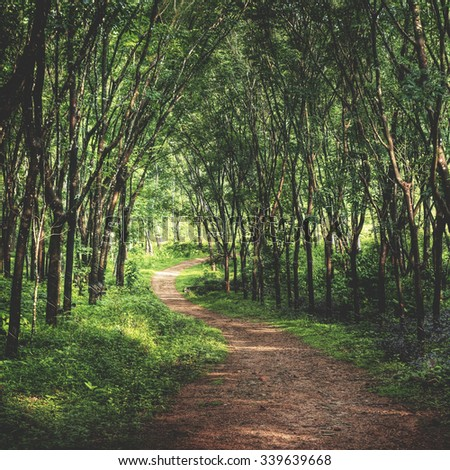 Enchanting Forest Lane in a Rubber Tree Plantation Concept - stock photo