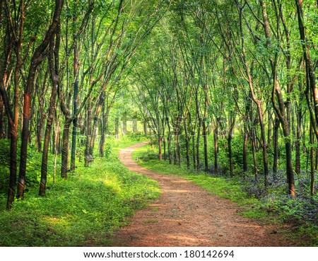Enchanting Forest Lane in a Rubber Tree Plantation, Kerela, India  - stock photo