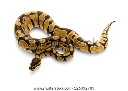 enchi ball python (Python regius) isolated on white background.