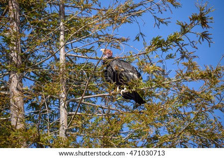 Endangered American Condor sitting on a pine tree on California coast on Route 1 (SR 1) near Big Sur. A rare species of birds.