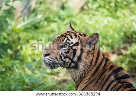 Endangered Animals of Sumatran Tiger