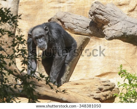 Endangered Chimpanzee (Pan troglodytes), also known as the Robust Chimpanzee - stock photo