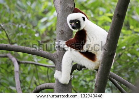 Endangered Coquerel's Sifaka (Propithecus coquereli) rests and looks in a tree in a rain forest in Madagascar (Ankarafantsika). This is a large diurnal lemur that clings vertically to trees and leaps. - stock photo