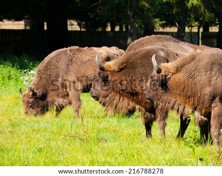 Endangered european wood bison herd (wisent or Bison bonasus) in Bialowieza primeval forest - stock photo