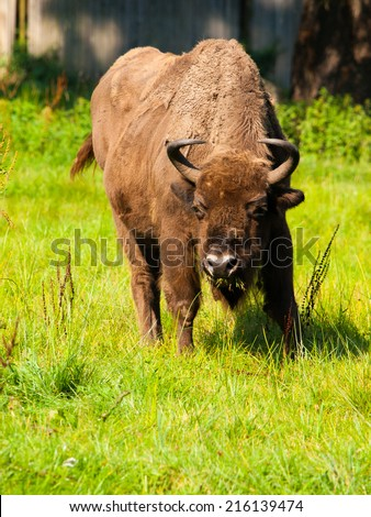 Endangered european wood bison (wisent or Bison bonasus) in Bialowieza primeval forest - stock photo