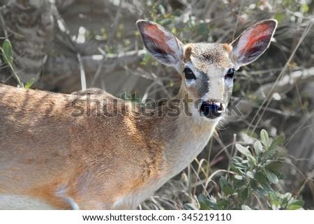 Endangered Florida Key Deer (Odocoileus virginianus clavium) in the Florida Keys - stock photo