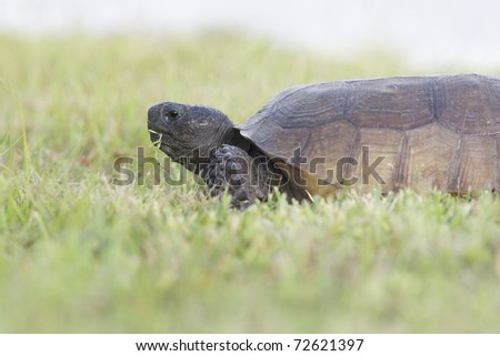 Endangered Gopher Turtle or Tortoise eating green grass with neck extended