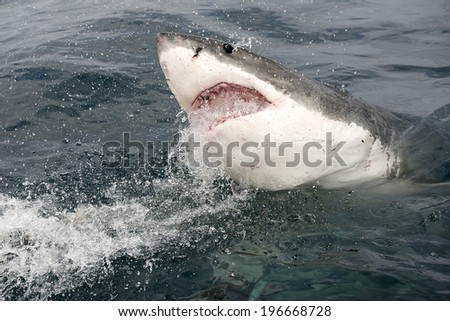 Endangered great white Shark being chummed for cage diving with a yellow tail fish head - stock photo