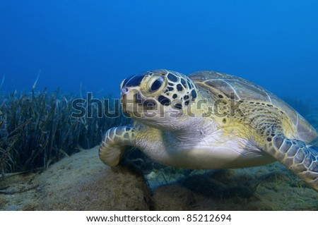 Endangered green turtle (Chelonia mydas) resting on sea grass bed.