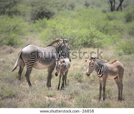 Endangered Grevy Zebra family - stock photo
