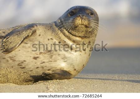 Endangered Harbor Seal on tan sand beach in La Jolla California - stock photo