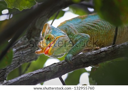 ENDANGERED male Parson's Chameleon (Calumma parsonii) hunting an insect (eyes focused with tongue about to shoot out) in Madagascar. The largest chameleon species in the world. IUCN Near Threatened. - stock photo
