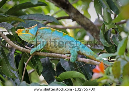 ENDANGERED male Parson's Chameleon (Calumma parsonii) in a tree in Ranomafana, Madagascar. The largest chameleon species in the world. IUCN lists as Near Threatened. Big, beautiful, and colorful. - stock photo