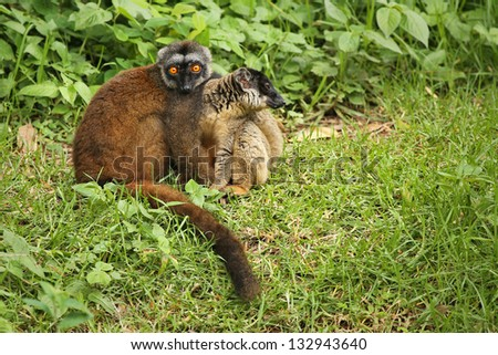 Endangered Mongoose Lemurs (Eulemur mongoz). Male and female watch with bright, orange eyes in vegetation in Madagascar. Rain forest and grass edge habitat. - stock photo