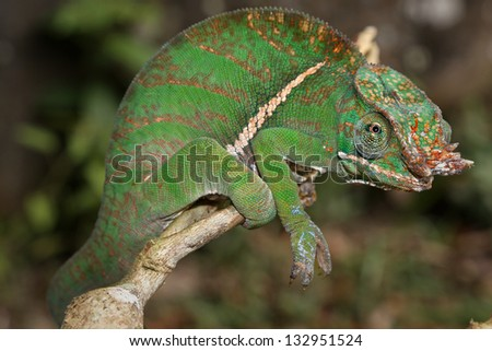 ENDANGERED Rainforest or Two-banded Chameleon (Furcifer balteatus) stalking insects in a tree in the wilds of Madagascar (Ranomafana National Park).  Leaves, branch, forest, foliage, tree, rain.