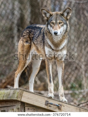 Endangered Red Wolf (Canis rufus) standing on a shed in a zoo - stock photo