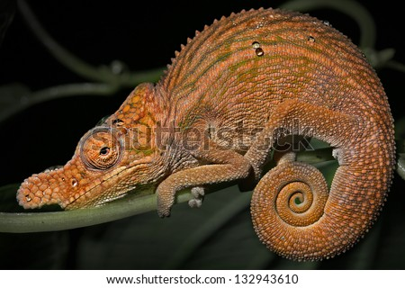 Endangered Rhinoceros Chameleon (Furcifer rhinoceratus) resting on a branch in rain forest in Ankarafantsika, Madagascar. Species is threatened (designated vulnerable). - stock photo