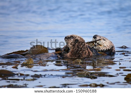 Endangered Sea Otter (Enhydra lutris) mother and baby in Pacific Ocean (California). Mother holds baby on top of her body and looks at the camera. Otters can relax in the safety of the kelp. - stock photo