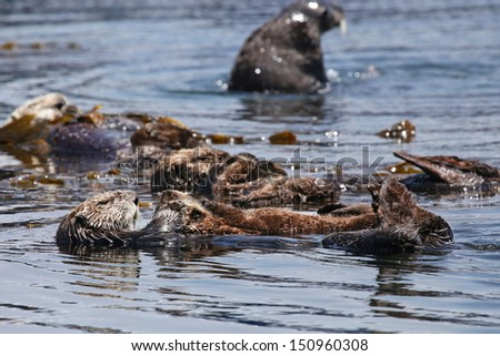 Endangered Sea Otters (Enhydra lutris) in Pacific Ocean (California). Many Otters (adults and sleeping babies) are seen floating in the safety of the sea kelp.  California, USA. - stock photo