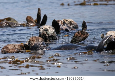 Endangered Sea Otters (Enhydra lutris) in Pacific Ocean (California). Many Otters (adults and babies) are seen floating in the safety of the sea kelp.  California, USA. - stock photo