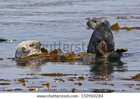 Endangered Sea Otters (Enhydra lutris) relax, sleep and play in Pacific Ocean (California). The Otters are relatively safe from predators while wrapped up in the sea kelp. - stock photo