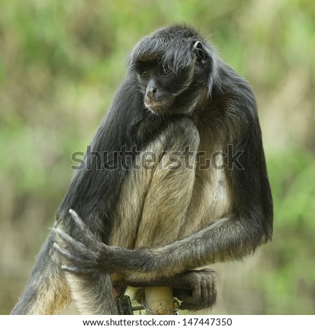 endangered spider monkey sitting on an electric fence - stock photo