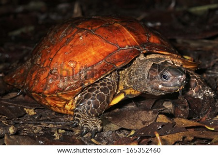 Endangered Spiny Turtle (Heosemys spinosa) emerges from shell & looks at camera in the jungles of Borneo. So named due to the sharp, pointed, spiky-edged carapace, & spiny keel. AKA Cog-wheel Turtle. - stock photo