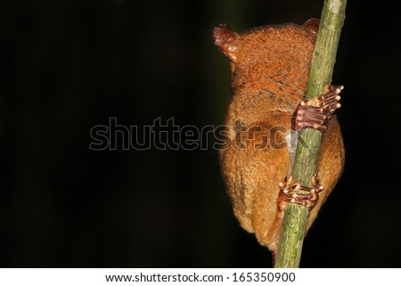 Endangered Western or Horsfield's Tarsier (Cephalopachus bancanus) (one of world's smallest primates) looks around at night in jungles of Borneo. They are nocturnal & use large eyes to hunt for prey. - stock photo