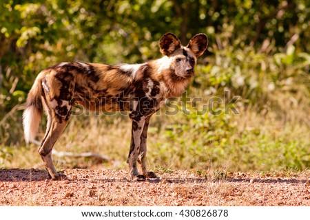 Endangered wild African wild dog - stock photo
