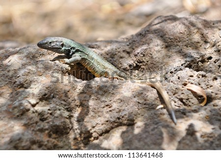 Endemic lizard (Gallotia galloti), Tenerife, Canary islands, Spain