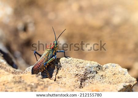 Endemic Madagascar Locust, Phymateus saxosus, in Isalo national park. Names include Rainbow Milkweed and Rainbow Bush Locust - stock photo