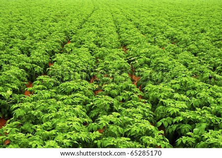 Endless field of young pumpkin plants - stock photo