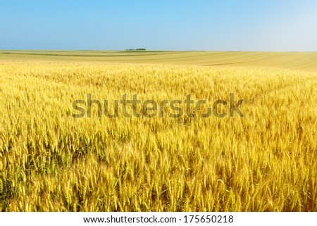 Endless rolling wheat fields towards the sunlight - stock photo