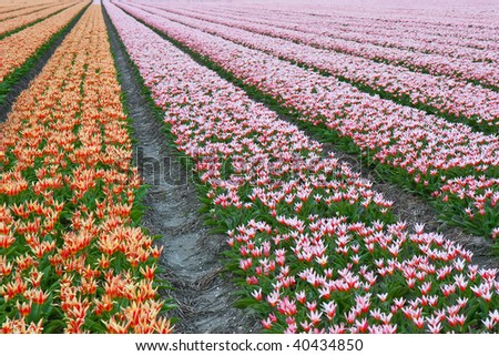 Endless rows of beautiful tulips in the Netherlands - stock photo