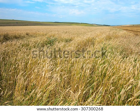 Endless yellow beautiful wheat field in the summer - stock photo