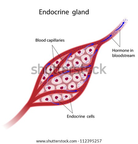 Endocrine glands cells