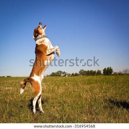Energetic Australian cattle dog on hind toes reaching for ball facing right