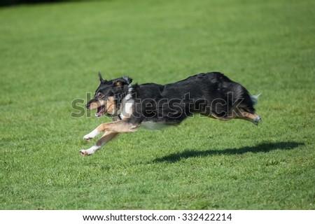 energetic collie dog running downhill - stock photo
