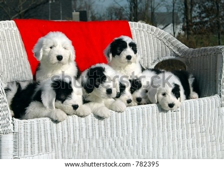 Engligh speepdog puppies with red throw - stock photo