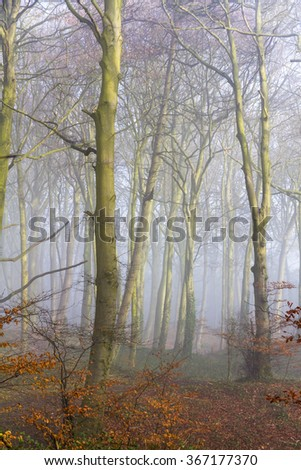 English beach woodland on a misty morning with a path running into the distance - stock photo