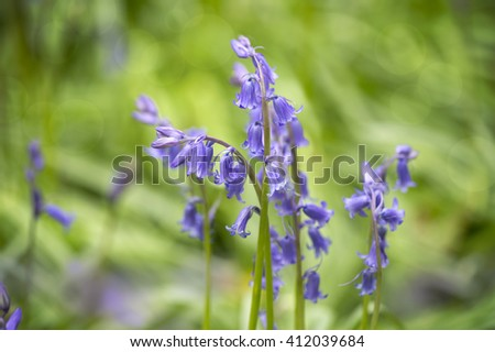 English Blue Bells in the forest close-up