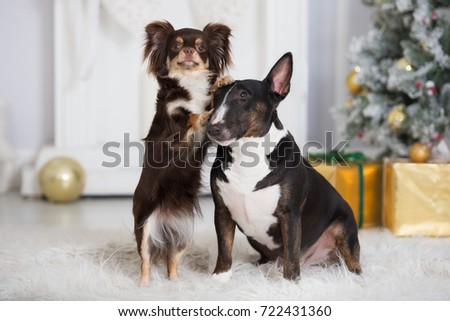 english bull terrier and chihuahua dog posing together