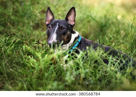 english bull terrier dog - stock photo