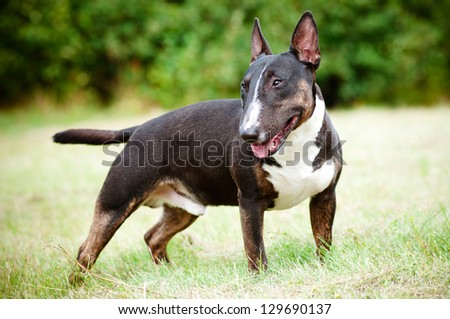 english bull terrier dog outdoors