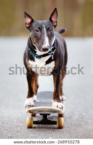 english bull terrier dog standing on a skateboard - stock photo