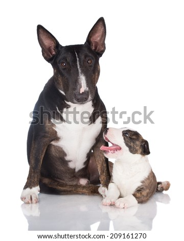 english bull terrier dog with a small puppy - stock photo