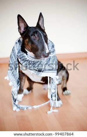 english bull terrier portrait indoors in a scarf - stock photo