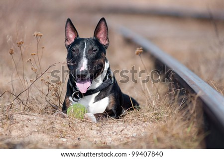 english bull terrier portrait with a ball - stock photo